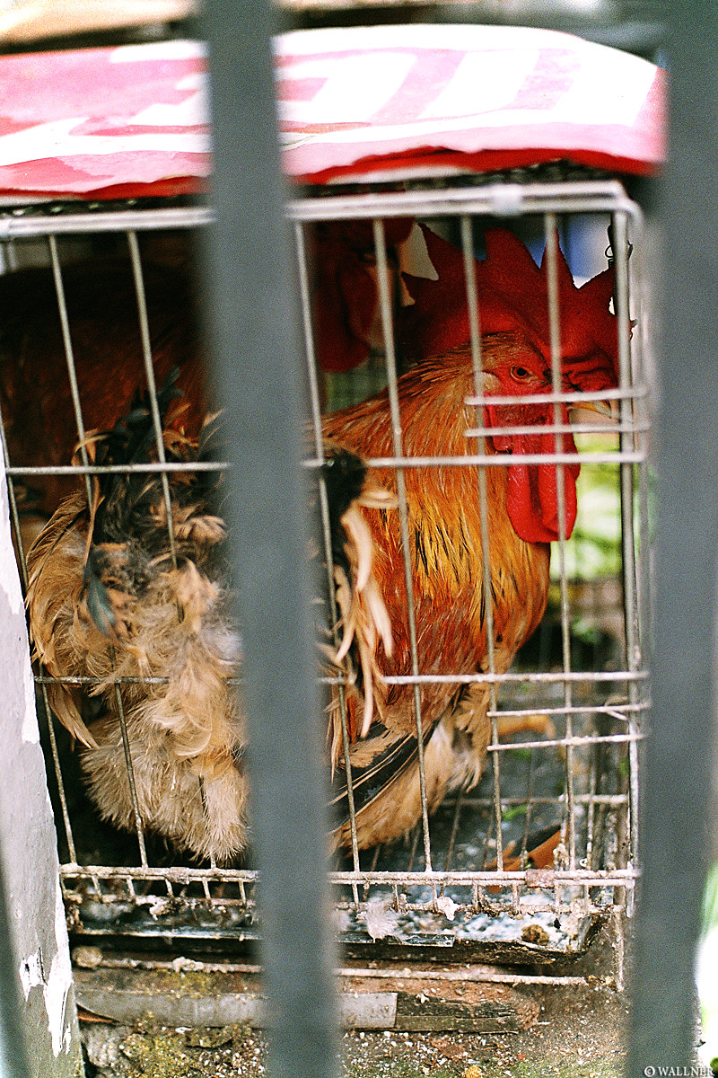 35mmPatrikWallner_Chengdu_ChickenInCageLOWQ