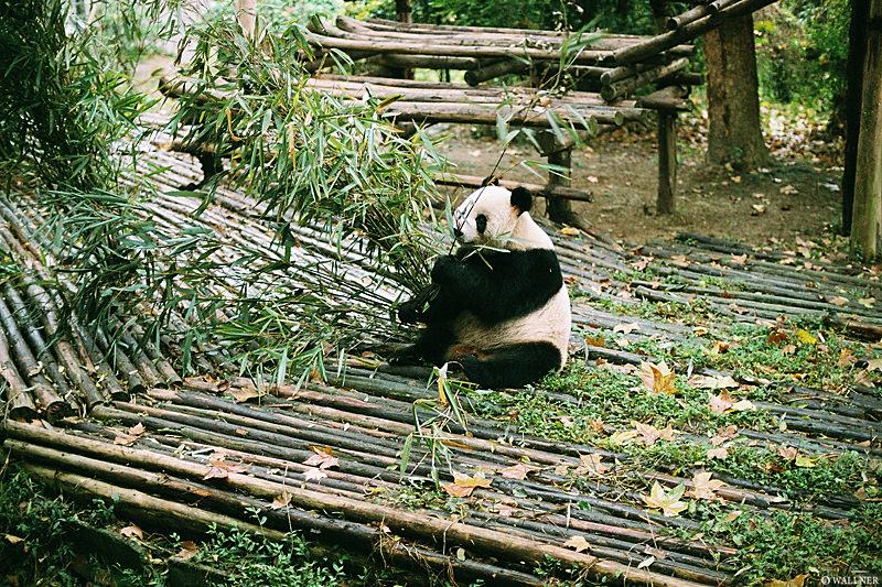 35mmPatrikWallner_Chengdu_PandaStillEatingLOWQ