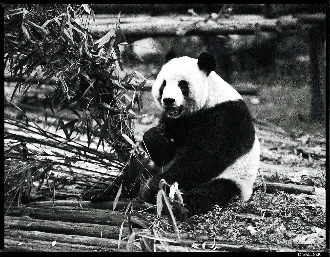 MediumFormatPatrikWallner_Chengdu_PandaEatingLOWQ