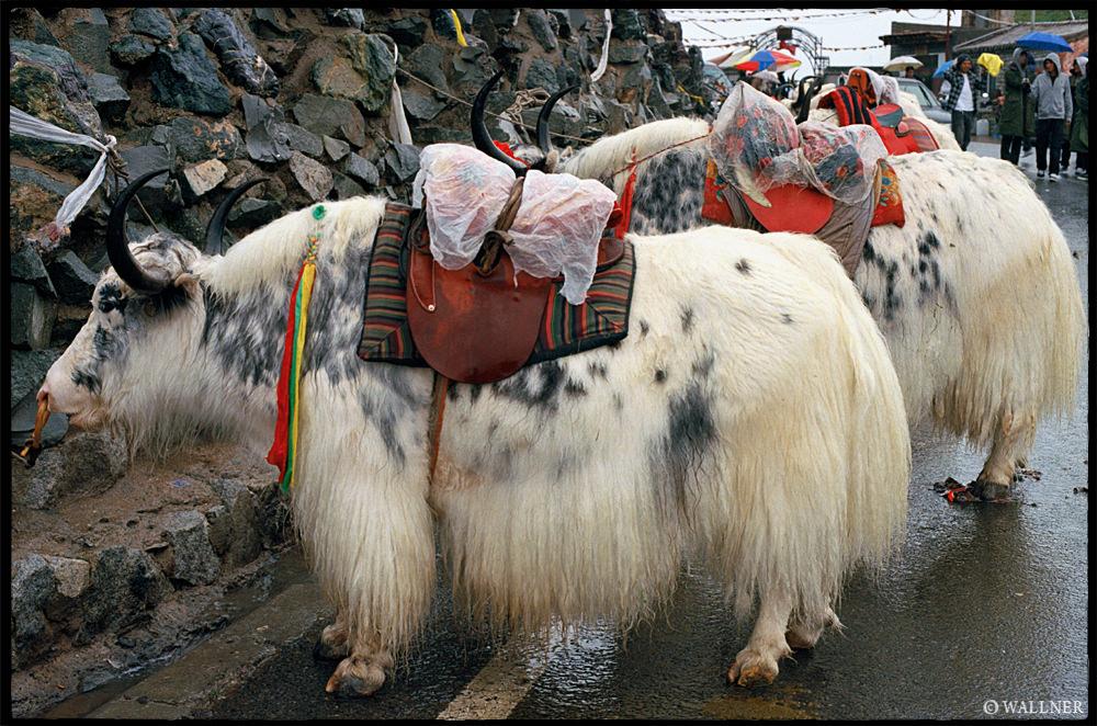 35mmPatrikWallner_Qinghai_TibetianOxLOWQ
