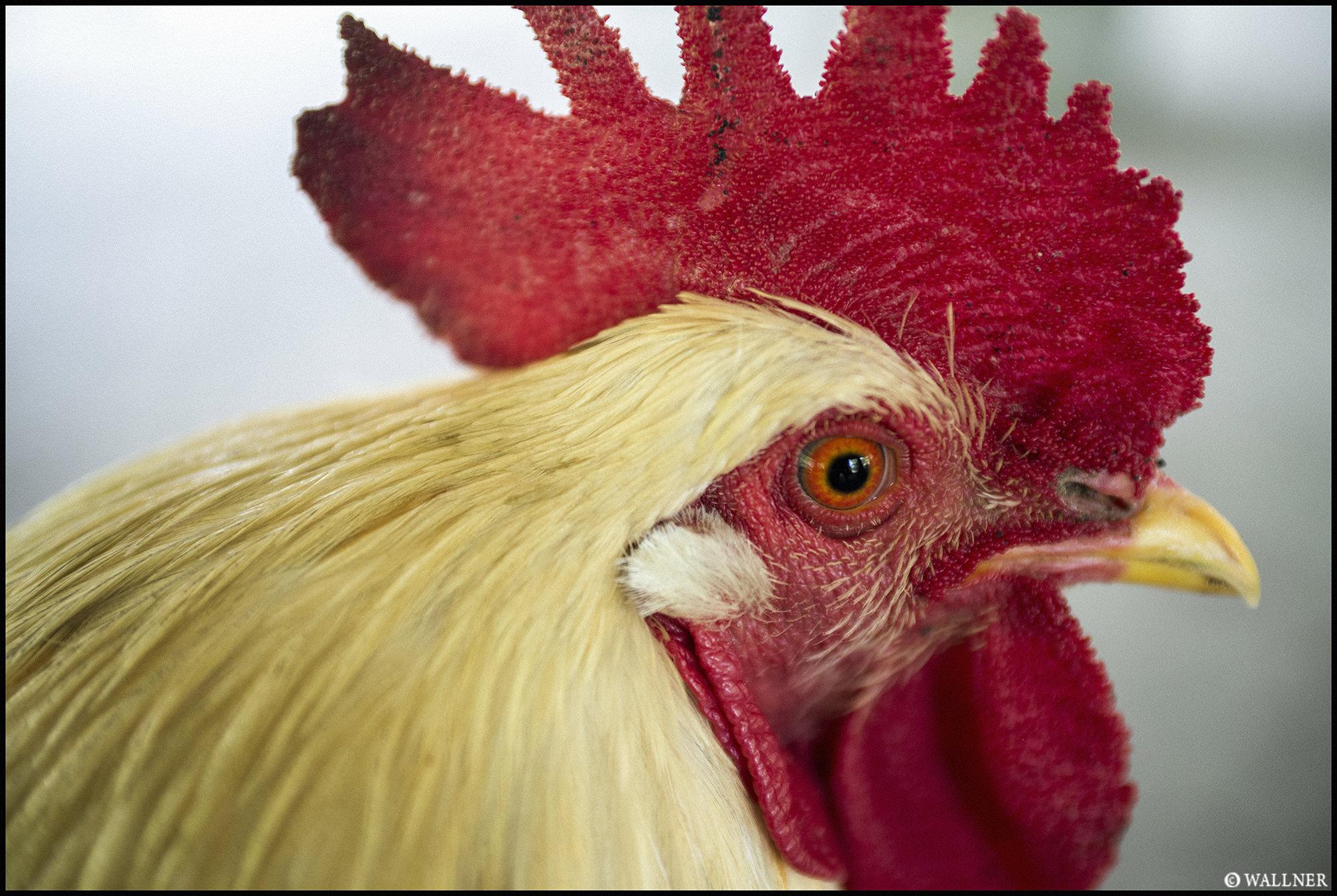 Digital Patrik Wallner Bali Chicken LOWQ 2000P w WM
