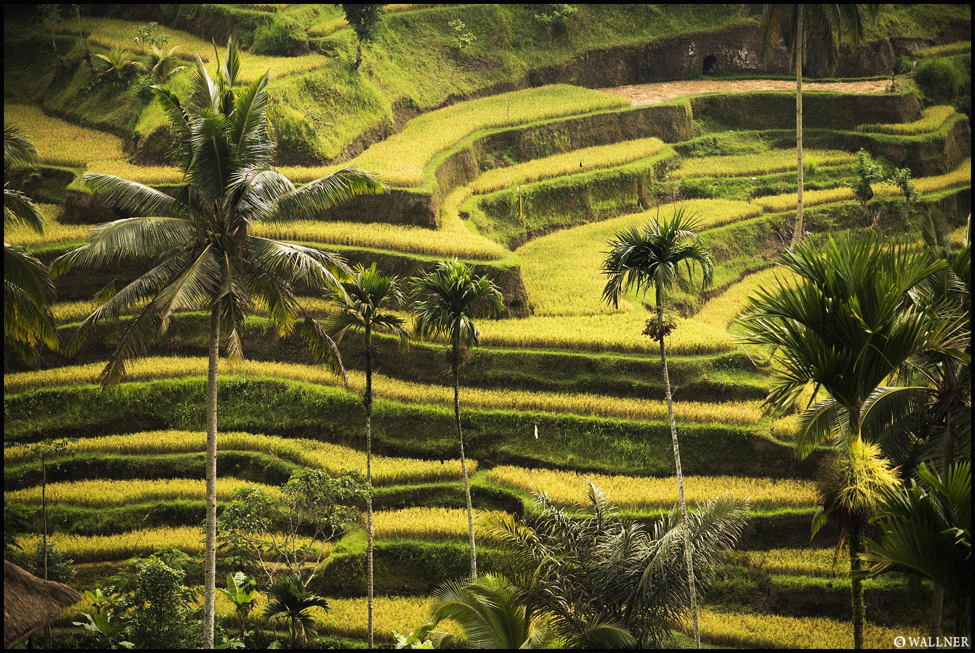 Digital Patrik Wallner Bali Rice Terrace LOWQ 2000P w WM