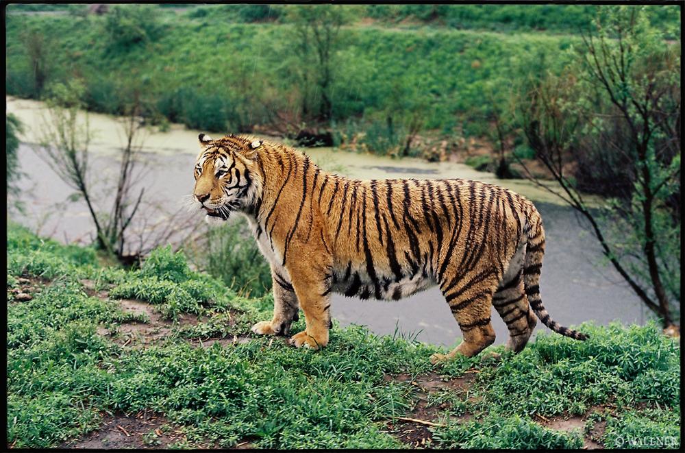 35mmPatrikWallner_Harbin_TigerManchuringLOWQ1000P