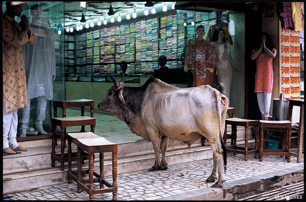 35mmPatrikWallner_Varanasi_CowShoppingLOWQ1000P2