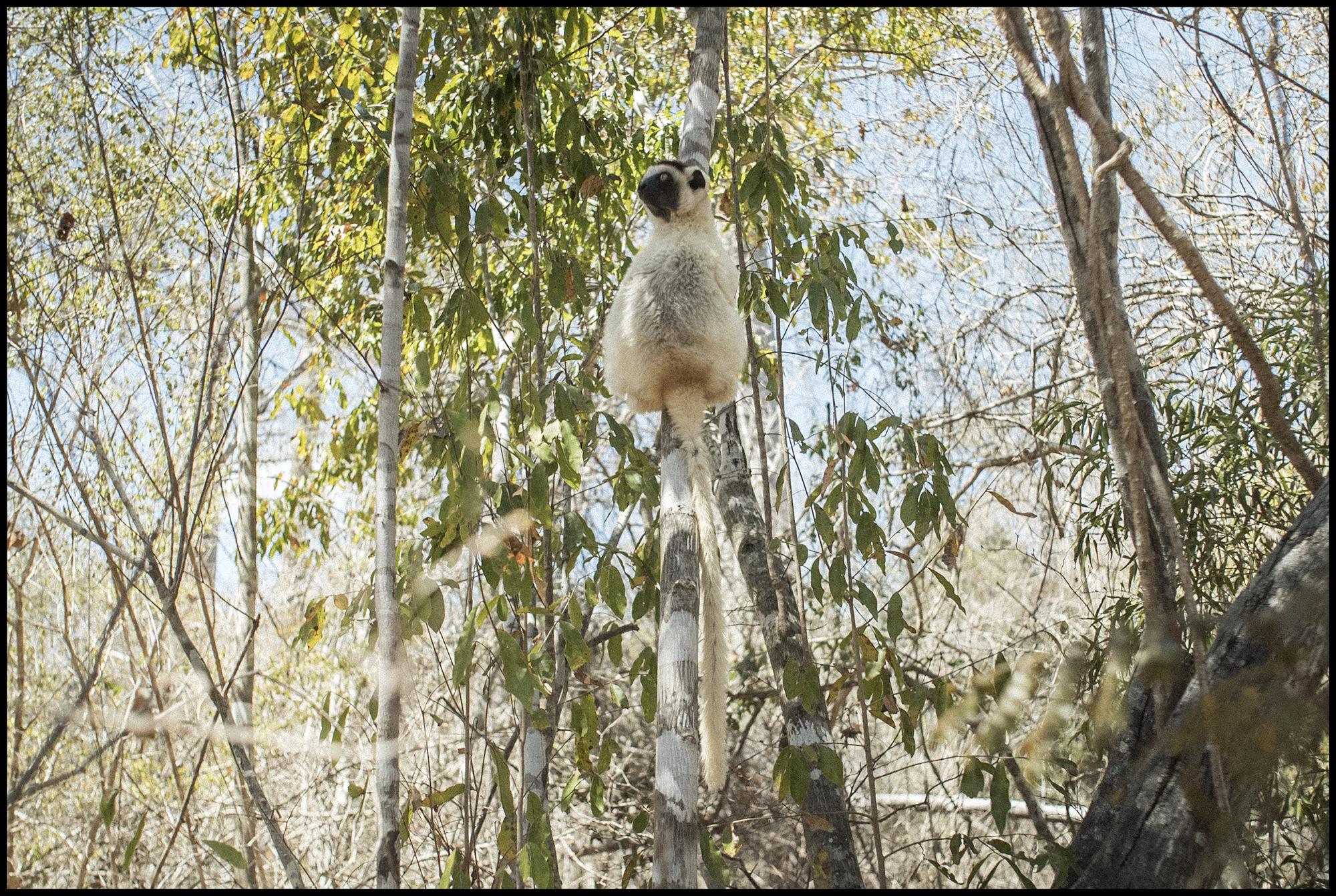 Digital Patrik Wallner Baobab Lemur Blending In LOWQ 2000P